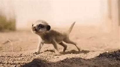 Meerkat Meerkats Frolicking Adorable Reddit