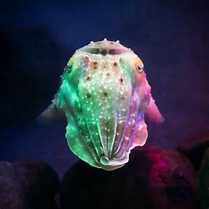 Cuttlefish | Peter Hellberg | Flickr