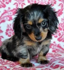 blue dapple doxin puppy