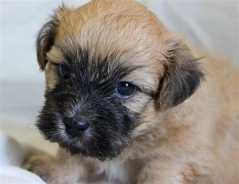Lhasa Apso Puppy Shedding by Pugshire Pug X Yorkie Mix Facts Temperament Puppies
