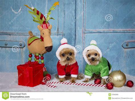 Terrier Dressed As Santa Claus Stock Photo Terrier Dogs Wearing Santa Royalty Free