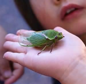 Bug Cicada Locust Insect