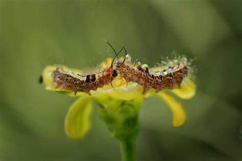 kissing caterpillars photo  monica anantyowat love bugs