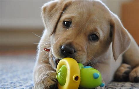 los mejores juguetes  perros labradores redcaninaes