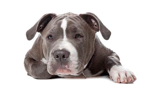 chien dangereux chien santevet