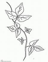 Ivy Plantas Coloring Colorir Template Colorear Poison Sketch Colorare Disegni Tattoo Imprimir Plant Pintar Disegno Edera Dibujar Desenhos Dibujos Kleurplaat sketch template