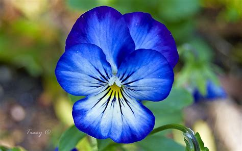 pansy flower pansy flower photo gallery featuring large macro pictures