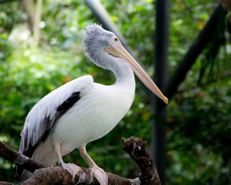 american white pelican facts diet habitat pictures