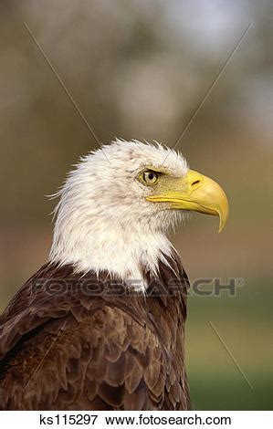 picture of close up of bald eagle alberta bird of prey