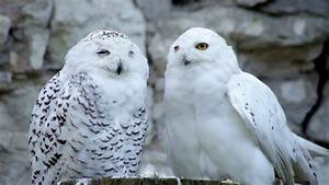 A Couple Of Snowy Owls, Awake Male And Dreaming Female ...