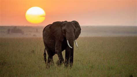 Elephant Walking At Sunset Time 4K Photo HD Wallpapers