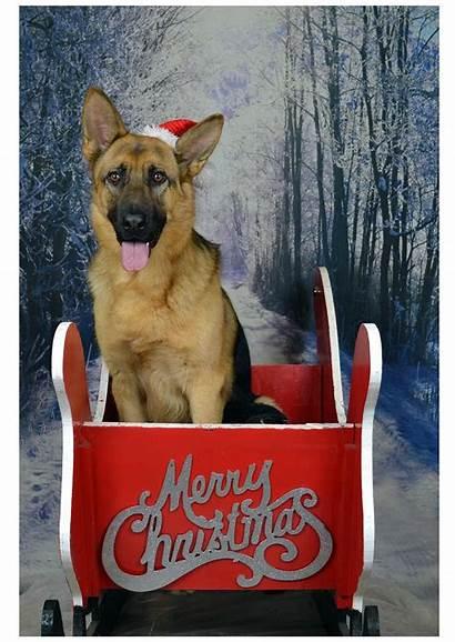 Christmas German Shepherd Cards Puppy Puppies Animals