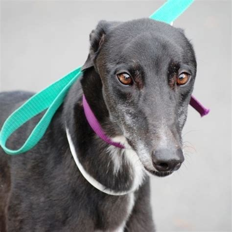 worms large male greyhound in vic petrescue