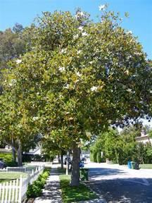 Magnolia Grandiflora Los Angeles Love Affair
