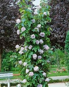 Mainzer Fastnacht Rose : rosa sissi media database ~ Orissabook.com Haus und Dekorationen