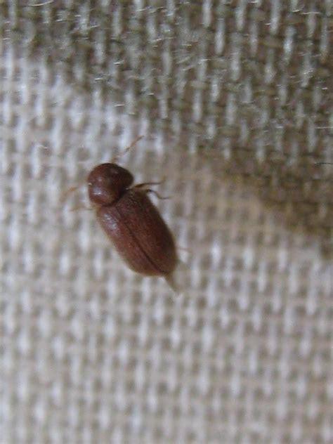 Small Beetles In Bathroom by Natureplus What Is This Small Brown Beetle