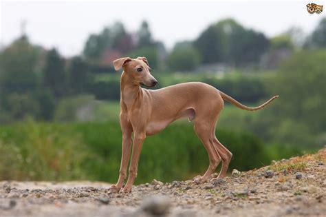 italian greyhound non shedding italian greyhound breed information buying advice