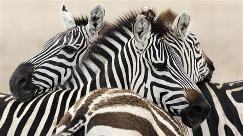 Wallpaper Zebra Hd Wallpapers