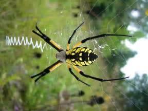 Yellow Garden Spiders Poisonous