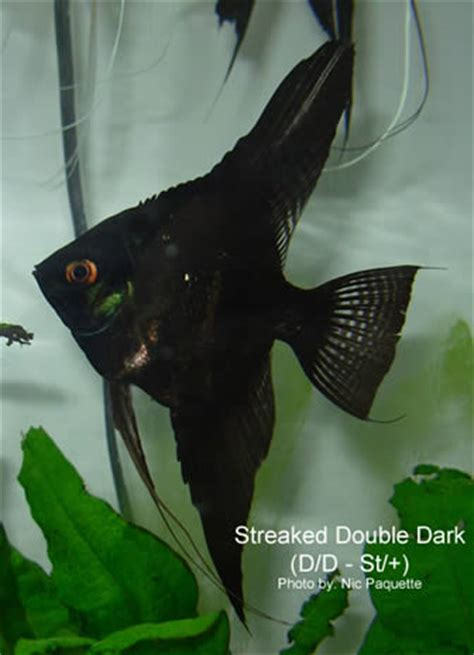 angelfish genetics types  angelfish