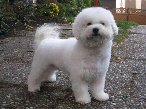 small fluffy dog breeds that don t shed puppies