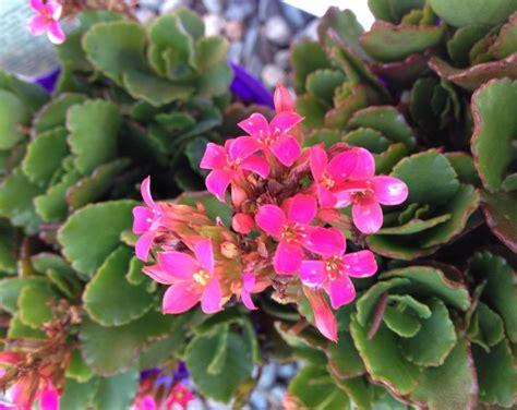 Pictures Of Pink Flowers Kalanchoe Blossfeldiana Pink 125mm Pot Dawsons Garden World