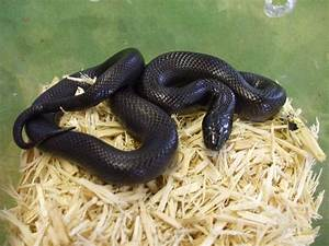 Black Mexican King Snake | Snakes