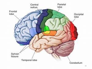 Prenatal Central Nervous System Development