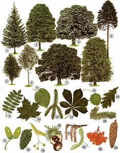 Linde Baum Steckbrief : biologie baeume i 02e lernen ben online bungen arbeitsbl tter r tsel quiz tests ~ Orissabook.com Haus und Dekorationen