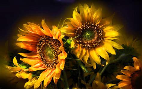 Sunflower Beautiful Abstract Hd Wallpapers For Desktop
