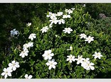The Gardenia Care and Varieties The Planting Tree