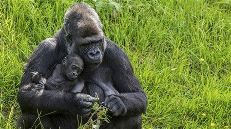 Animal Planet Gorilla