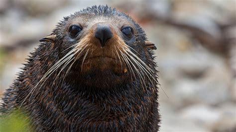 seal fur nz zealand native facts seals animals face mammals marine
