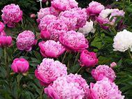 Beautiful Peony Flower Gardens