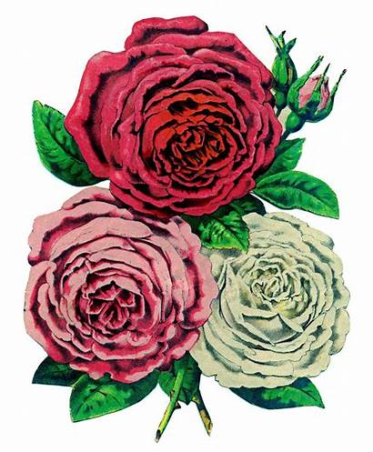 Roses Antique Fairy Seed Clipart Clip Graphic