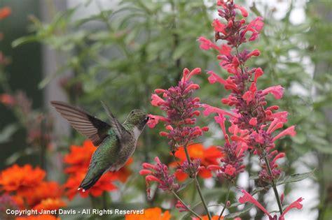 agastache cuisine hummingbird on agastache kudos coral janet davis