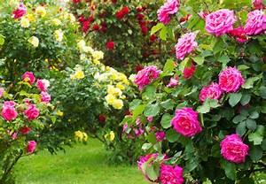 Kletterrosen Richtig Pflanzen : rosen pflanzen und pflegen mit obi ~ Markanthonyermac.com Haus und Dekorationen