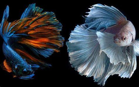 manfaat  fungsi daun ketapang  ikan andromeda