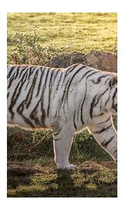 White Tiger HD Wallpaper   Background Image   2048x1155 ...