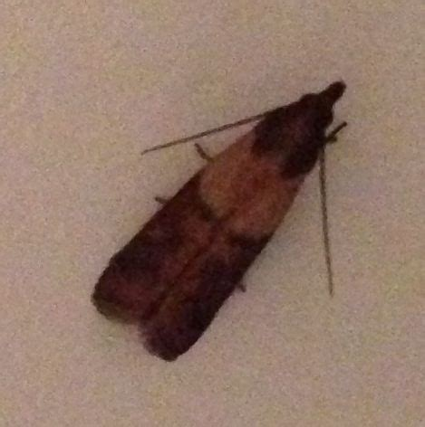indian meal moths silently lurking in the kitchen the