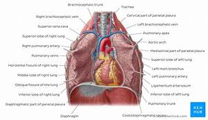 Lung  Anatomy  Blood Supply  Innervation  Functions