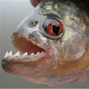 A LOT OF PIRANHA: Man found trying to smuggle 40,000 of ...