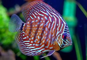 Discus Fish Water – Is Yours Safe? - Discus Fish Types