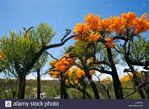 western australian christmas tree nuytsia floribunda cape le grand stock photo royalty free