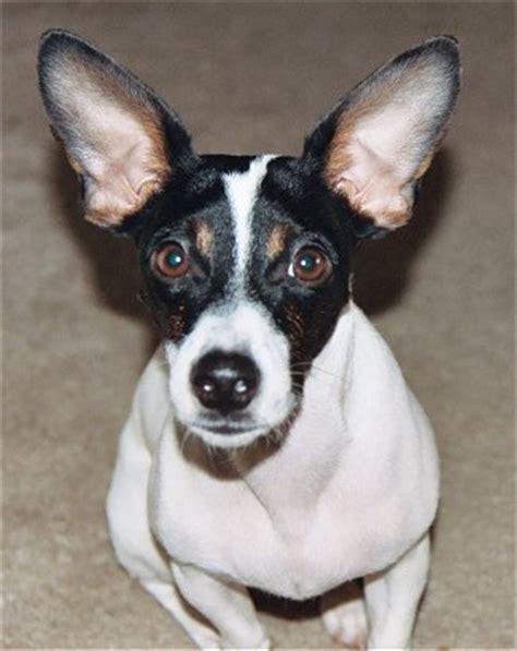 Rat Terrier Mix Shedding by Rat Terrier Info Temperament Puppies Pictures