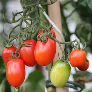 Plant Tomate Cerise : plants de tomates solanum lycopersicum tomates ~ Melissatoandfro.com Idées de Décoration