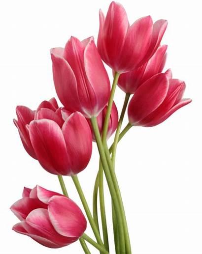 Tulip Transparent Purepng