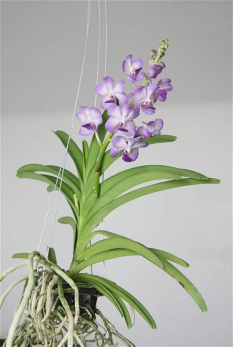 how to get an orchid plant to bloom again growing vanda orchid learn about the care of vanda orchids