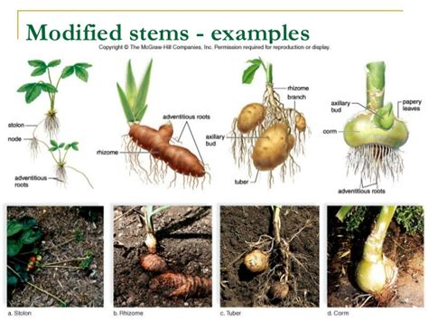 Names Of Modified Roots by Bio102 Chapter 25 1