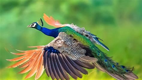 peacock  flight image id  image abyss